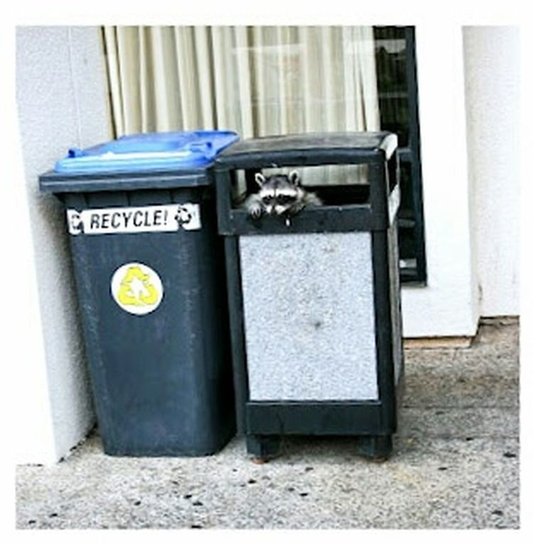 Racoon Reduce, Reuse, Recycle, Respect Garbage Can Raccoon Cute Animals Cute Baby Animals Nature_collection EyeEm Nature Lover