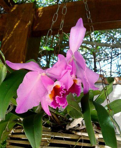 Cattleya. Pink Color Flower Nature Plant Beauty In Nature Fragility No People Orchid Ornamental Garden Orquideas💞 Brazilian Expressive Photography Garden Plants Garden Love Love❤