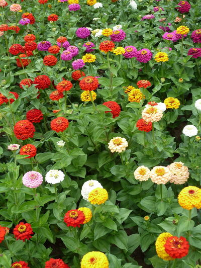 Beauty In Nature Blooming Day Flower Flower Head Fragility Freshness Green Color Growth Leaf Nature No People Outdoors Park - Man Made Space Petal Plant Zinnia