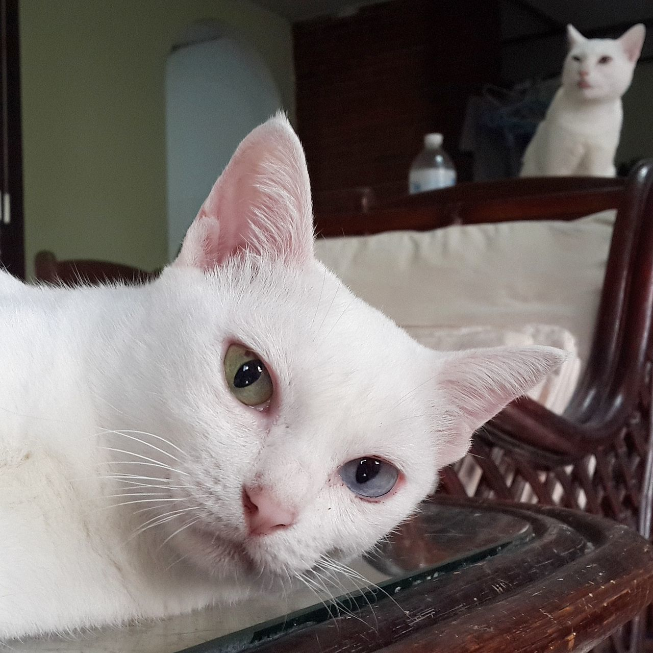 domestic cat, pets, animal themes, domestic animals, one animal, mammal, feline, whisker, indoors, cat, looking at camera, portrait, white color, home interior, no people, close-up, day