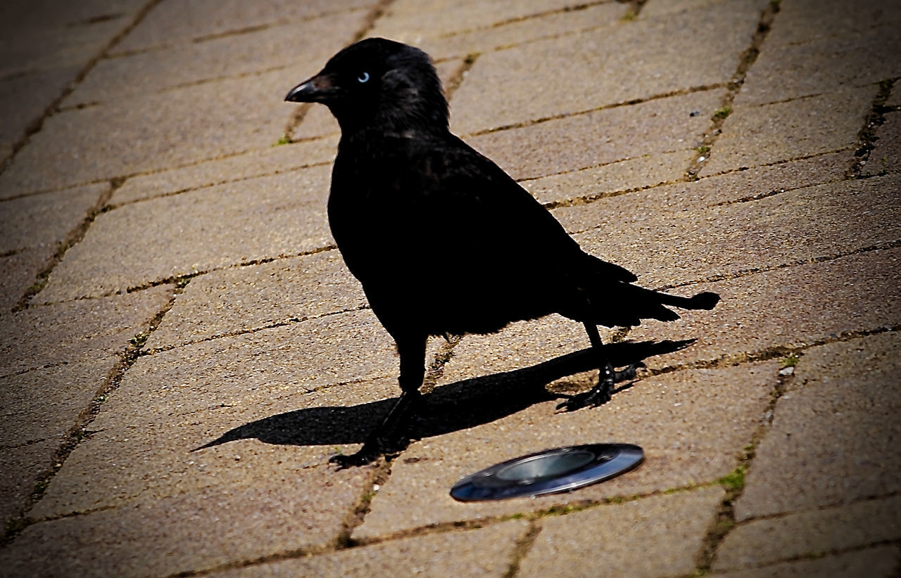 one animal, black color, animal themes, animals in the wild, bird, day, shadow, outdoors, no people, animal wildlife, raven - bird, nature, close-up
