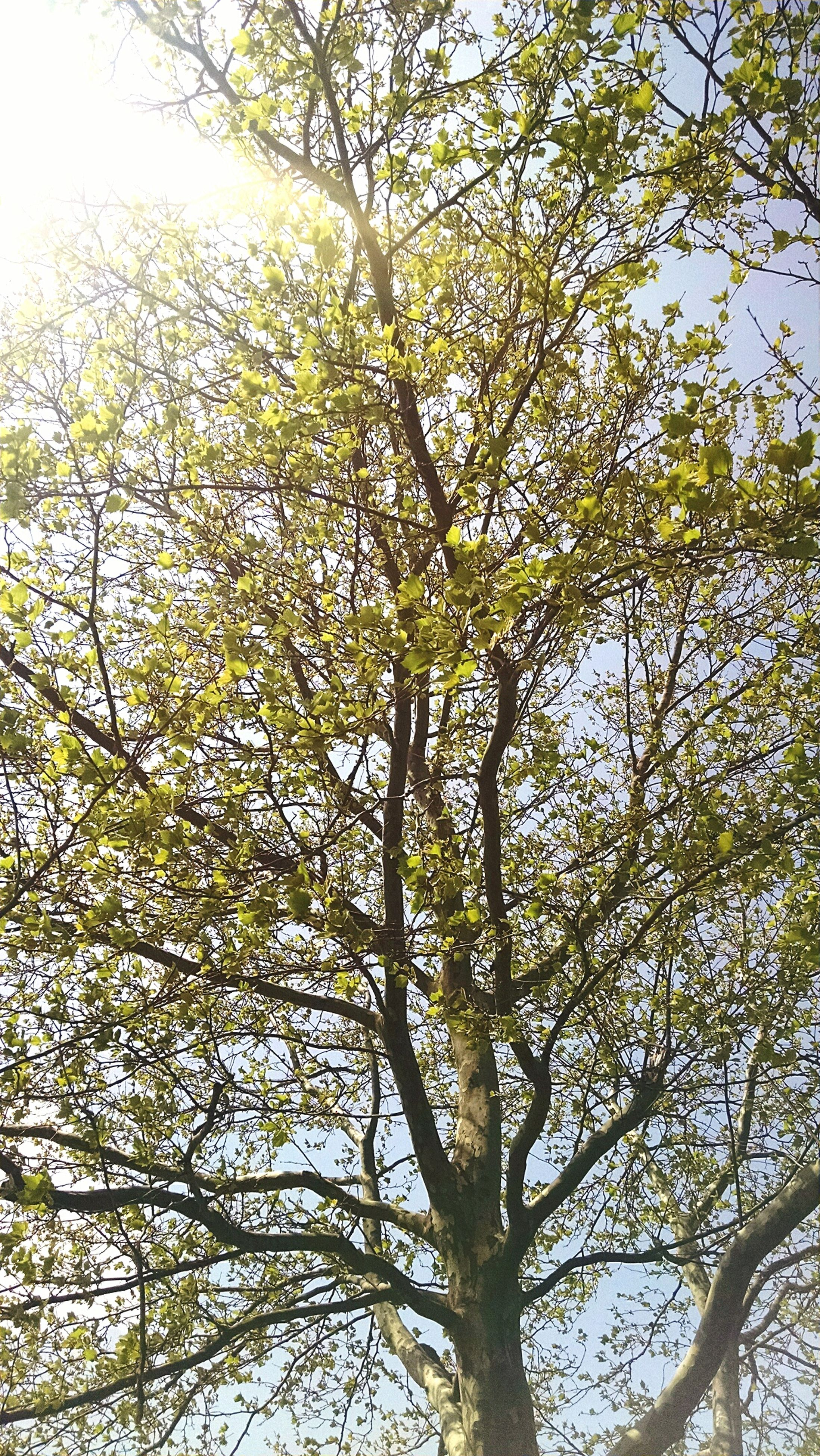 tree, branch, low angle view, growth, nature, tranquility, beauty in nature, clear sky, sky, scenics, day, outdoors, no people, green color, sunlight, tranquil scene, yellow, tree trunk, leaf, forest