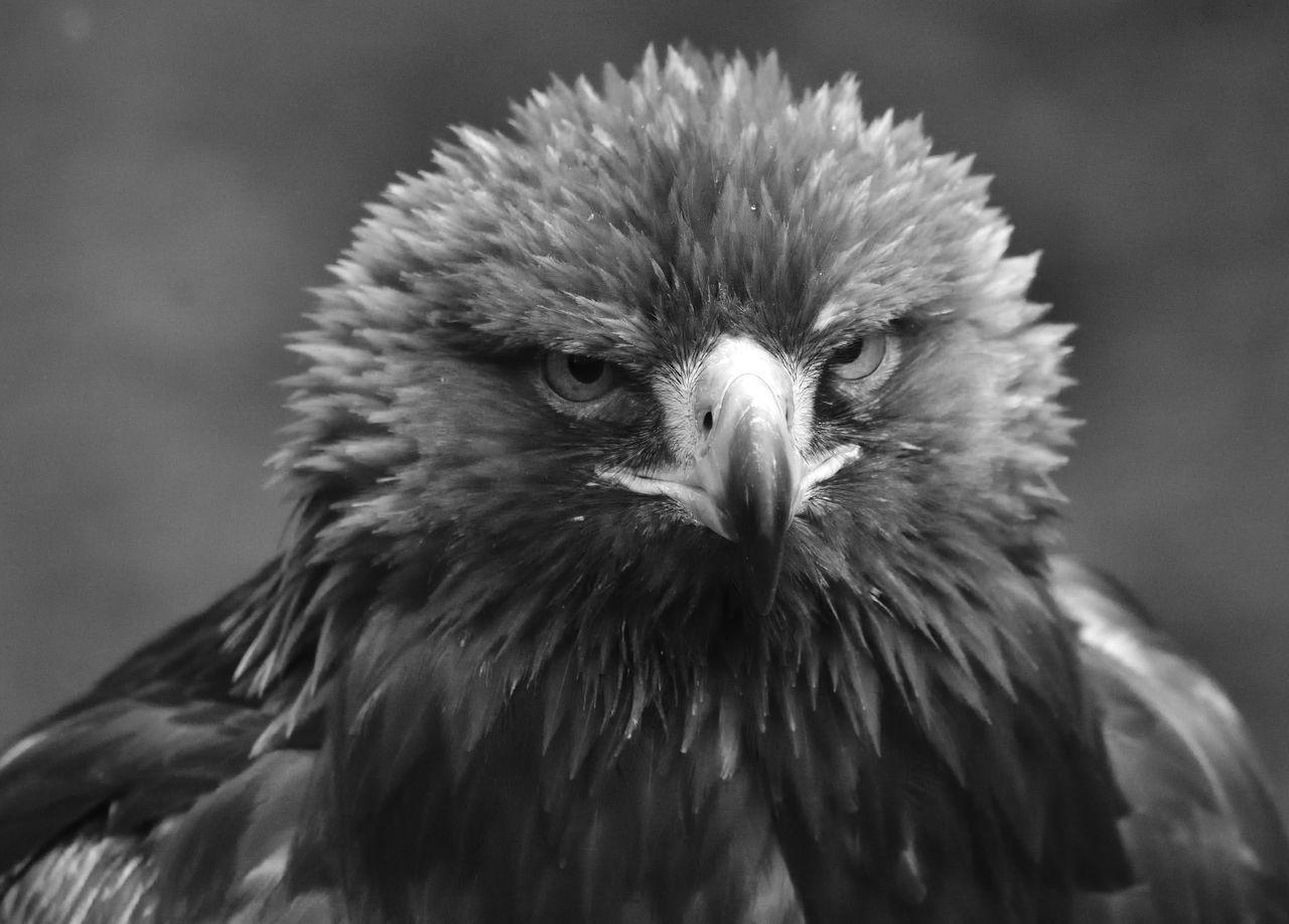 bird, animal themes, one animal, animals in the wild, animal wildlife, close-up, no people, focus on foreground, bird of prey, beak, day, outdoors, nature