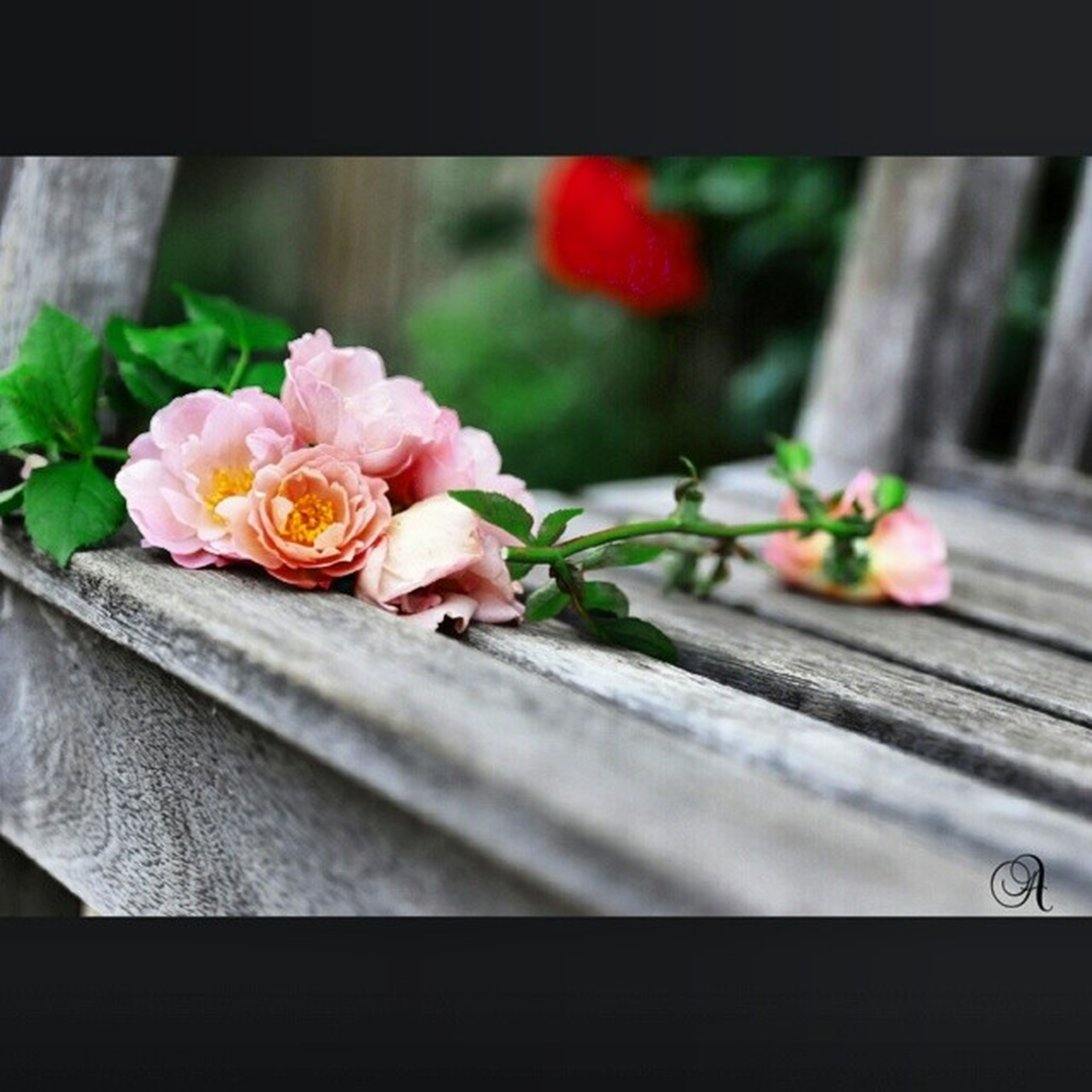 flower, petal, fragility, freshness, close-up, flower head, pink color, focus on foreground, wood - material, plant, indoors, growth, beauty in nature, nature, selective focus, rose - flower, vase, potted plant, wooden, flower pot