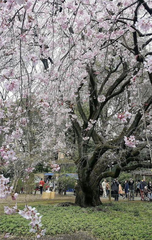 Pink Cherry Blossoms Nature Naturelover Spring Tokyo Japan Cherry Tree Rikugien Garden Edo Garden Streetphotography EyeEM Tokyo EyeEm Japan Eyeem Spring Eyeem Nature Eyeem Photography Eyeem Streetphotography