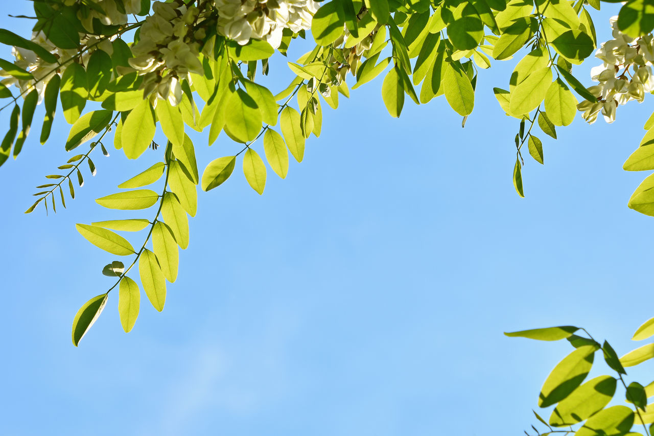 Acacia tree with flowers over blue sky Acacia Acacia Flowers Acacia Tree Beauty In Nature Blue Clear Sky Day Green Green Color Growth Leaf Low Angle View Nature Nature No People Outdoors Sky Spring Spring Time Tree