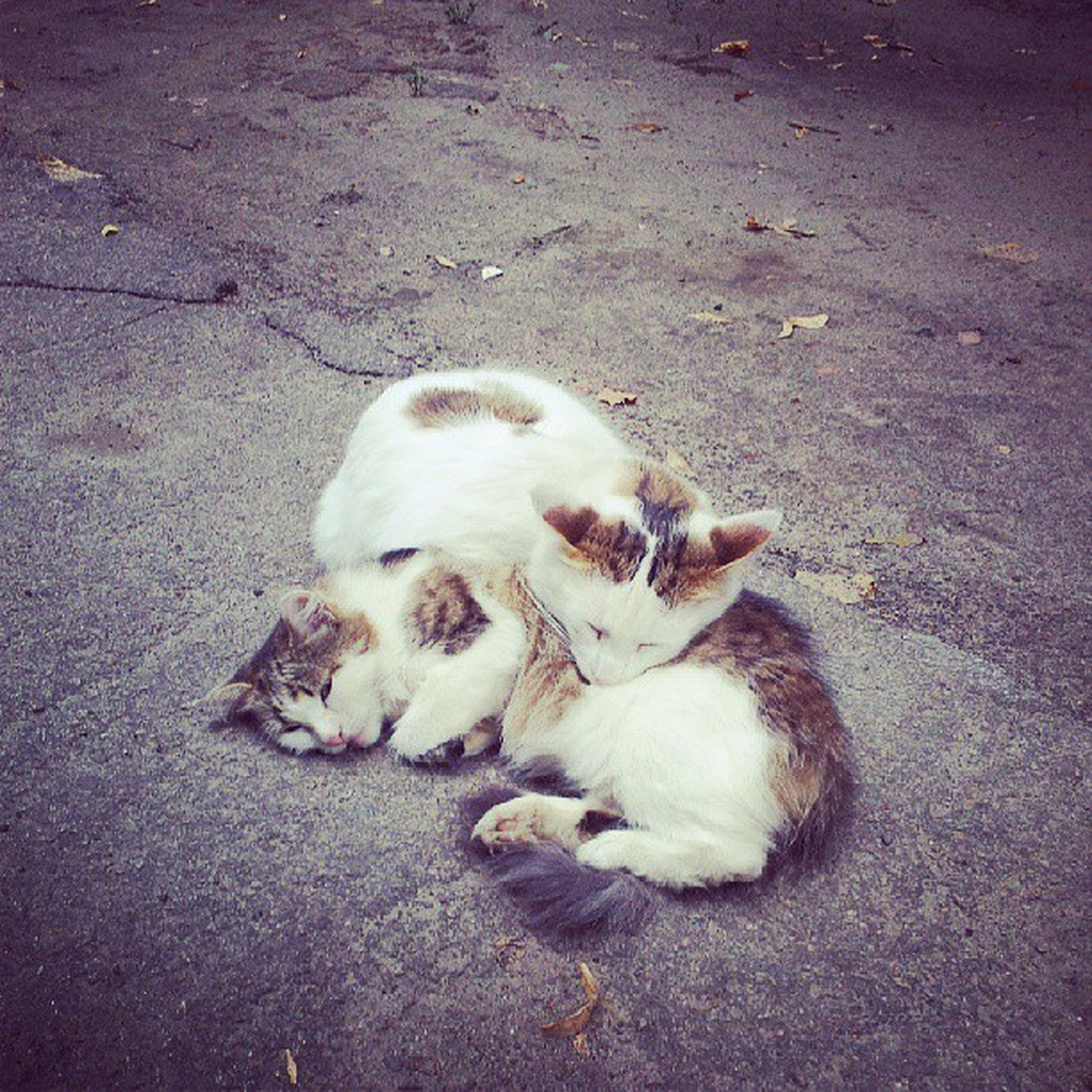 animal themes, domestic animals, pets, one animal, mammal, dog, high angle view, white color, lying down, relaxation, street, domestic cat, cat, full length, resting, sleeping, cute, outdoors, no people, day