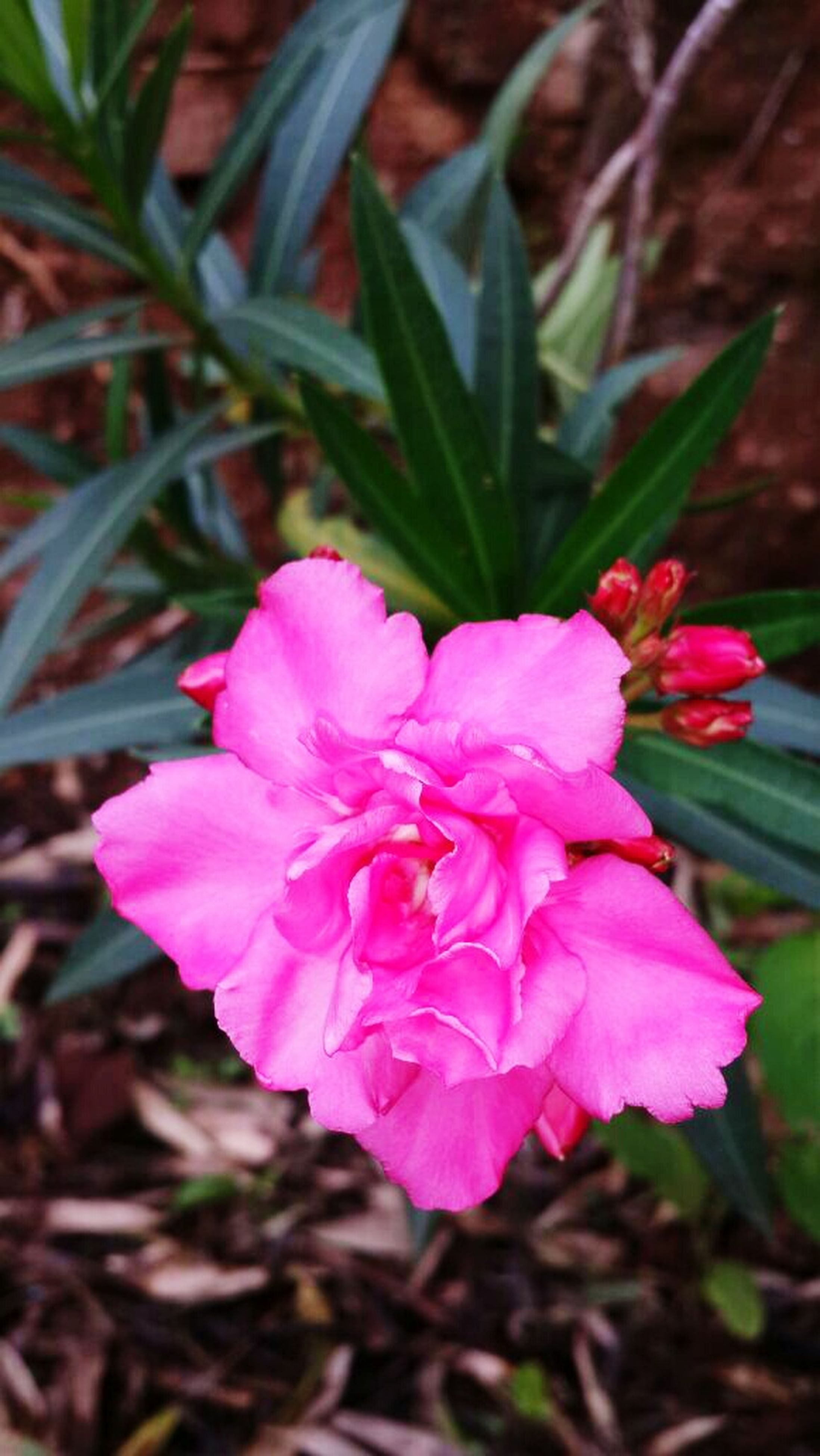 flower, pink color, petal, fragility, freshness, flower head, close-up, growth, beauty in nature, focus on foreground, pink, blooming, nature, plant, single flower, in bloom, high angle view, outdoors, day, no people