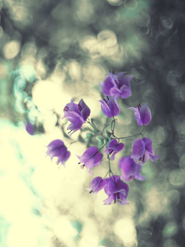 Flower Fragility Close-up Beauty In Nature Selective Focus Blooming Blossom Botany Monochrome Bokeh Photography Bokeh Love Bokeh Lights 50mm 1.4 Bokeh Balls TakeoverContrast