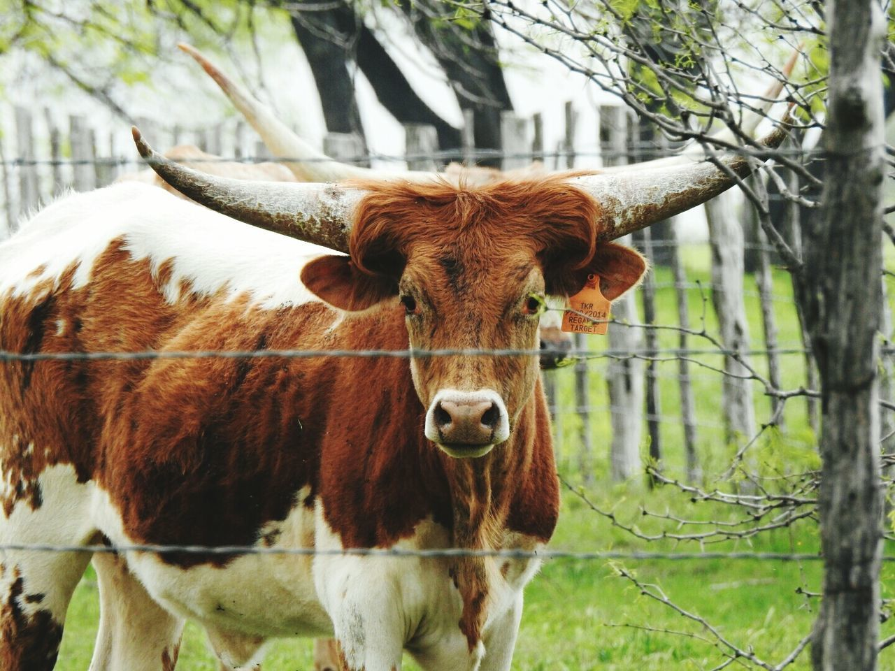 Beautiful stock photos of texas, Animal Themes, Brown, Day, Domestic Animals