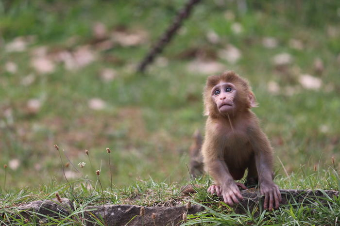 EyeEmNewHere Live For The Story Place Of Heart The Photojournalist - 2017 EyeEm Awards The Portraitist - 2017 EyeEm Awards Rhesus Macaque Rhesus Animal Wildlife Mammal Animals In The Wild EyeEm Nature Lover Close-up Monkey Grass One Animal Animal Canon700D Nature Beauty In Nature No People