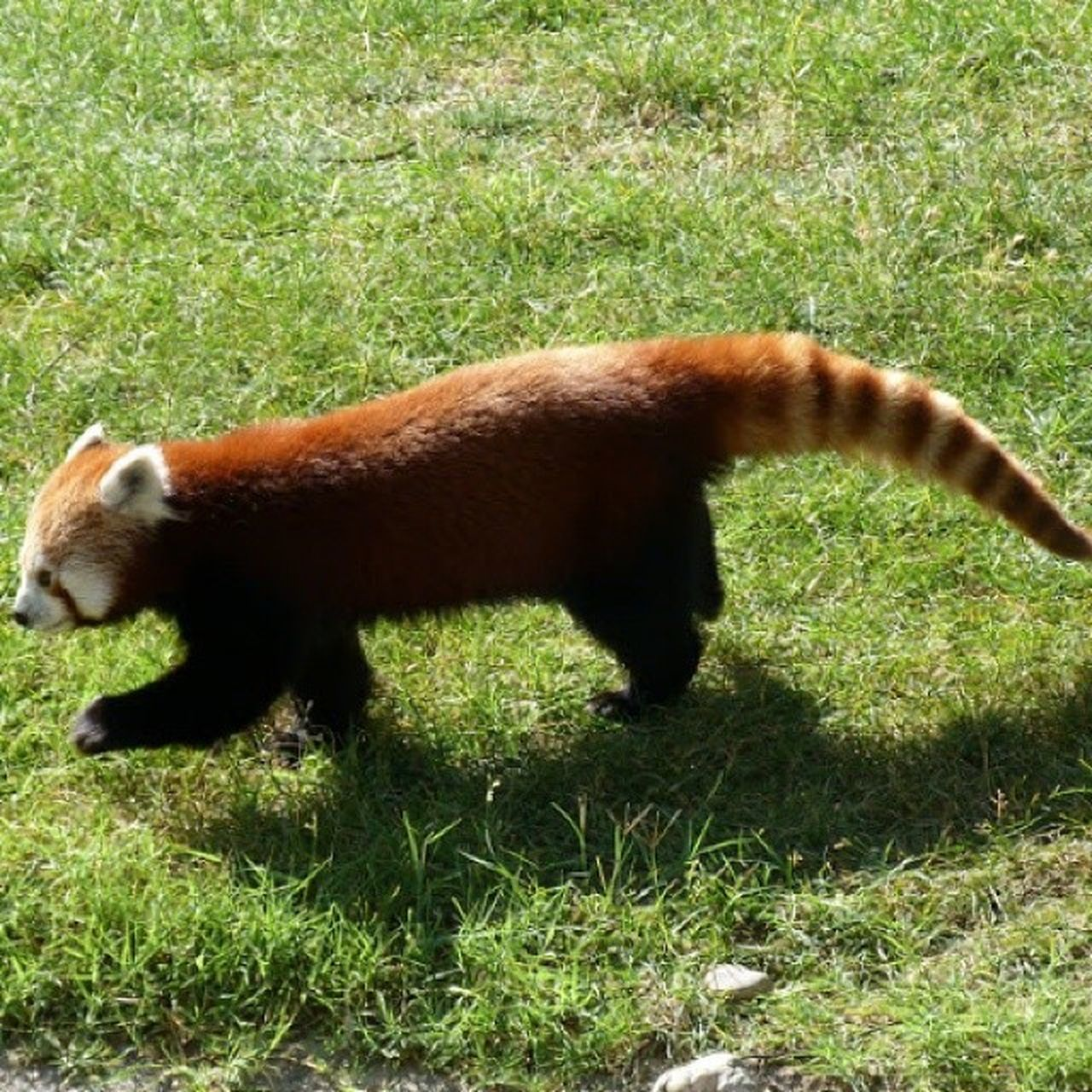 Panda rojo Animal Phototheday Nature Panda