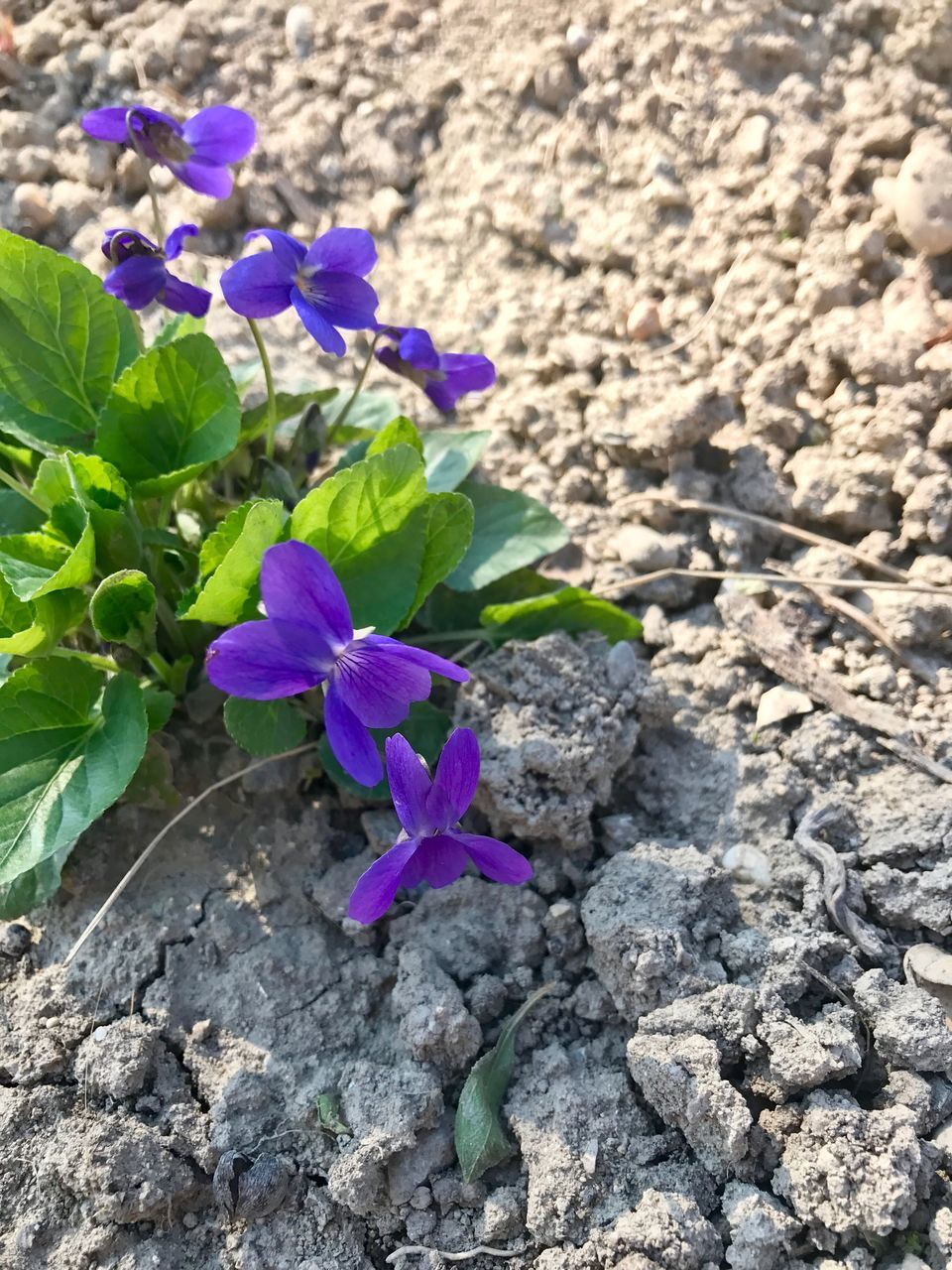 plant, flower, nature, growth, fragility, outdoors, no people, beauty in nature, day, petal, purple, leaf, blooming, green color, close-up, freshness, flower head, periwinkle