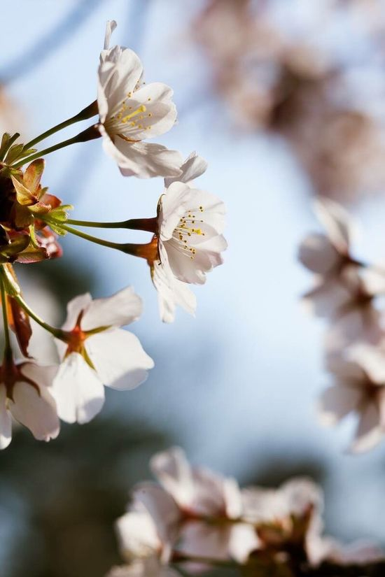 Cherryblossoms,Kyoto Trees Traveling Photography Flower Pattern Cherry Blossoms Nature Japanese Culture Colors