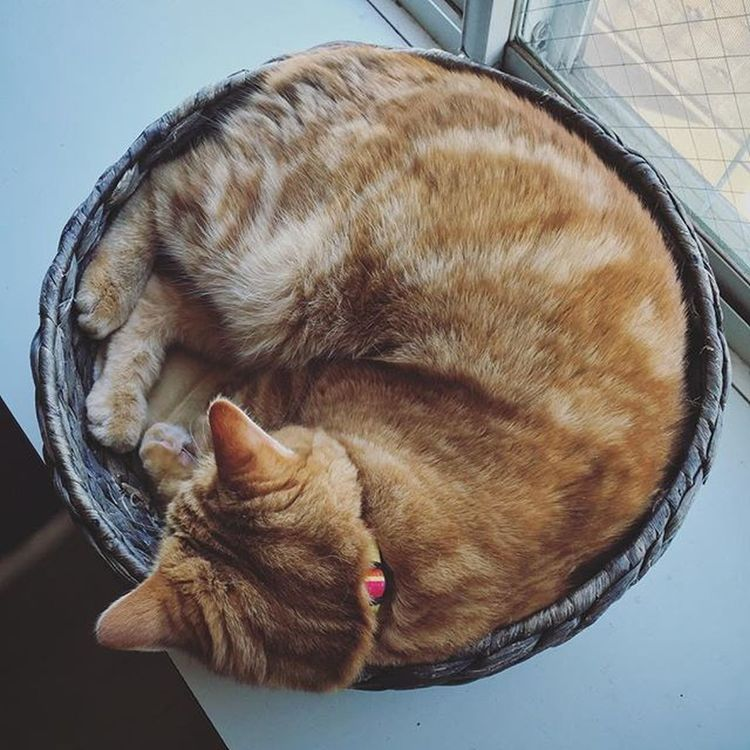 Cat Neko ねこ 猫 ねこ Cats スコティッシュフォールド Scottishfold 茶トラ ロロ Lolo コケティッシュフォールド コケティッシュホールド かご猫 アンモニャイト ニャンモナイト 今日も💯満点の丸さですよ…😆😸👏