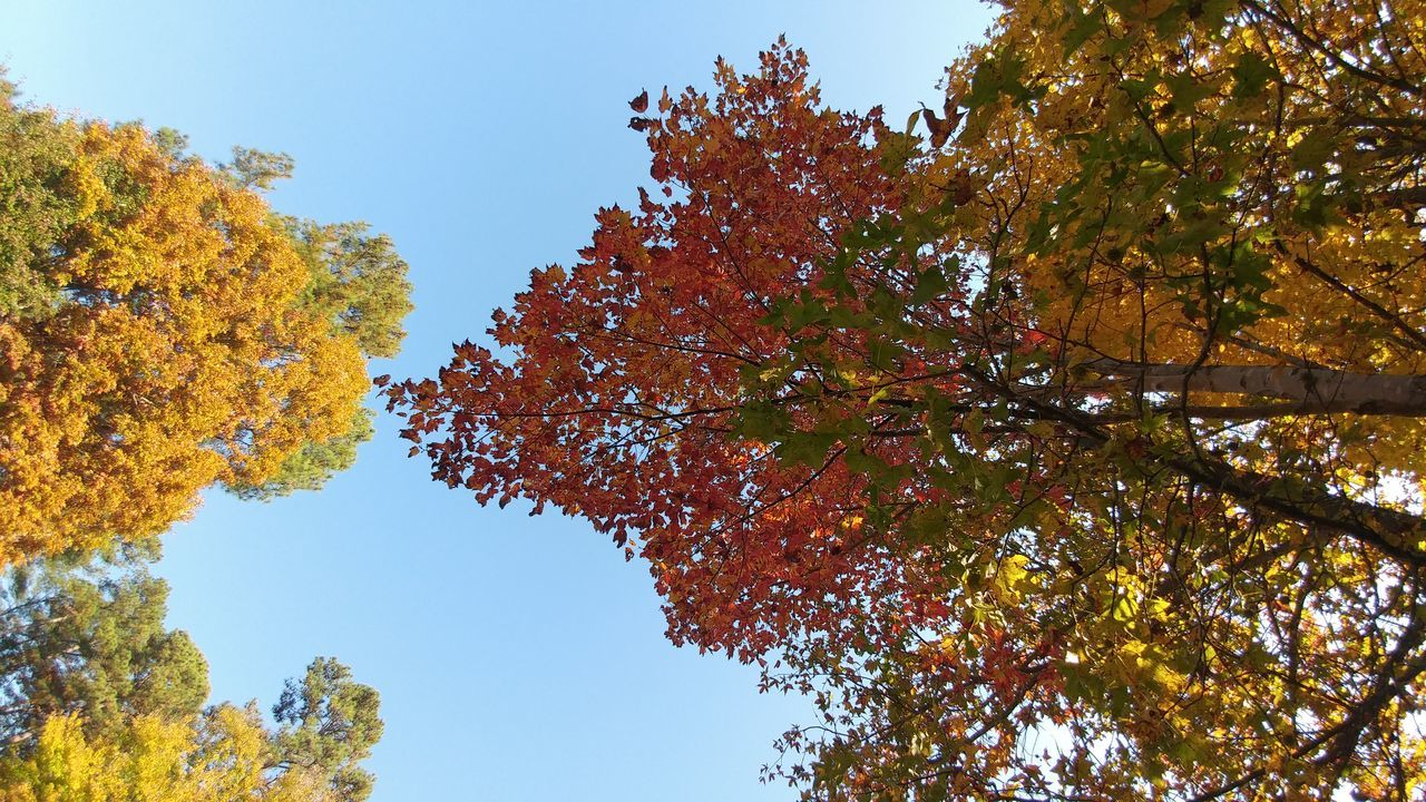 Tree Autumn Nature Change Branch Sky Leaf Beauty In Nature Multi Colored Tranquility Clear Sky No People Outdoors Day