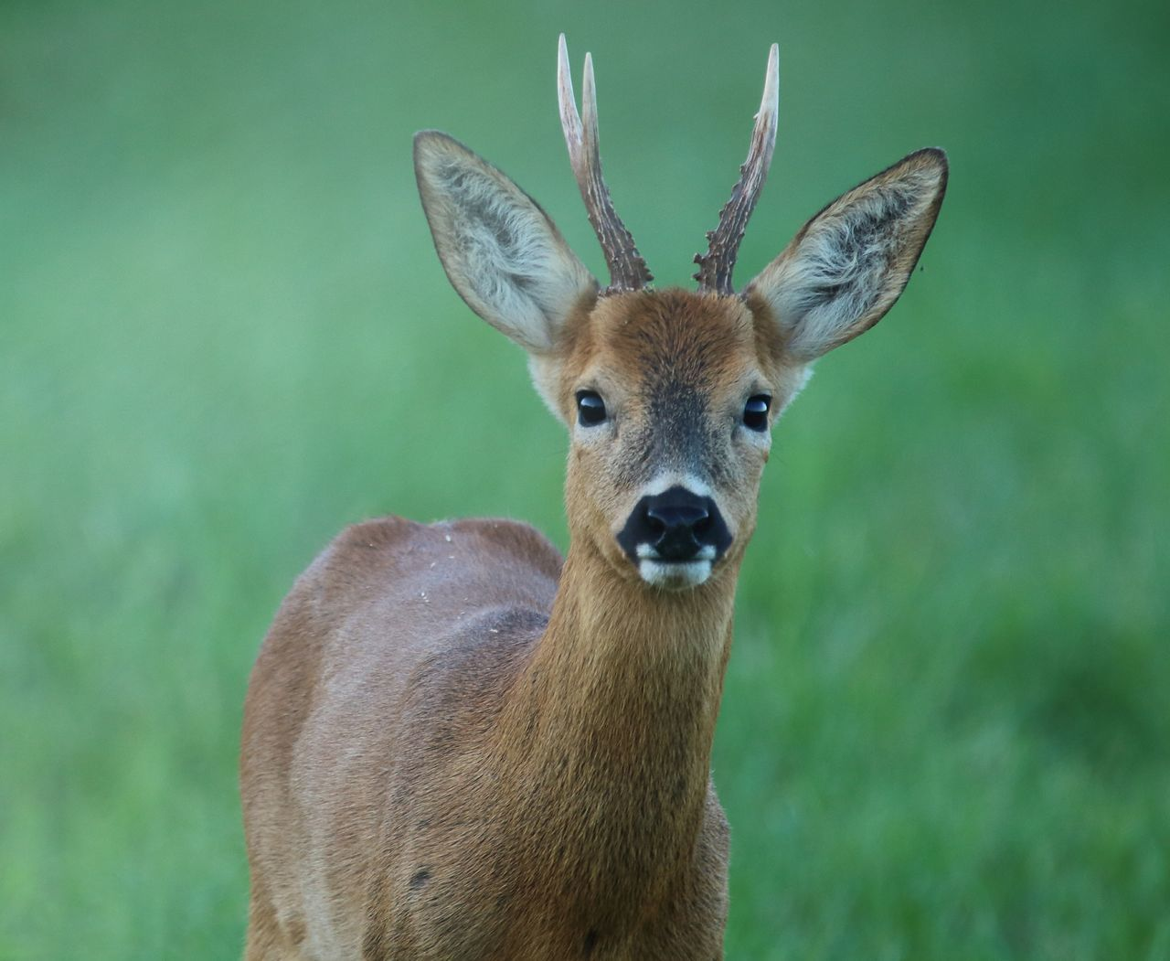 Animal Themes Animal Wildlife Close-up Deer Looking At Camera Mammal Nature One Animal Outdoors Roe Deer Stag Wildlife Wildlife Photography Young Animal