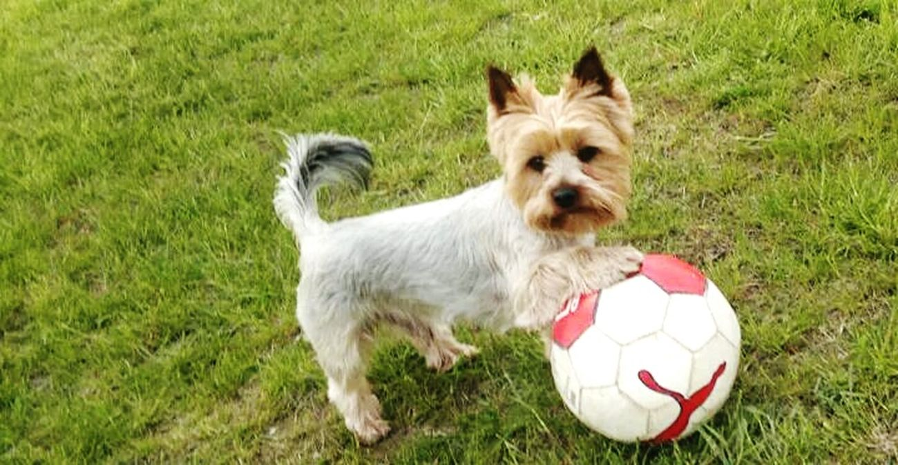 My dog and his ball. His name is Lotos. Love ♥ Happy :) *.* Lovely Dog❤ Mydog♡ Lotos Yorkshire Terrier I Love My Dog My Lovely Dog Happy Dog I Play With My Dog We Are Happy