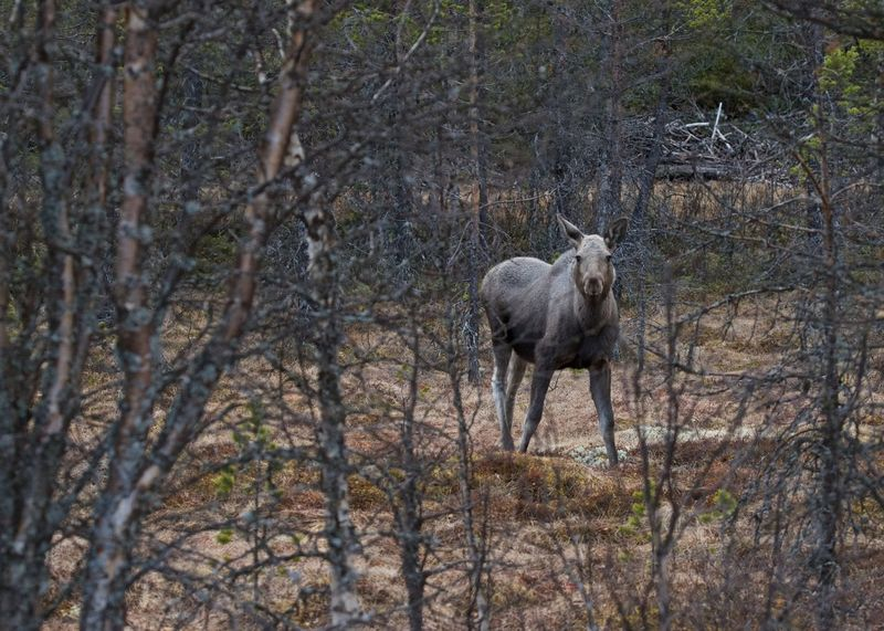 Moose Animal Themes Animal Wildlife Animals In The Wild Close To A Moose Day Domestic Animals Exciting Exciting Moment Forest Great Meeting You In Norway. Looking At Me Moose Nature No People One Animal Outdoors Tree