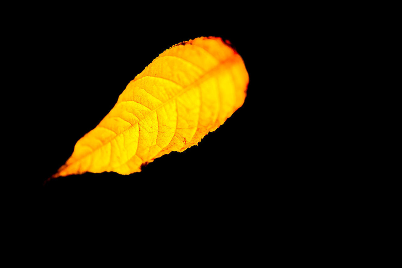 night, black background, yellow, studio shot, no people, close-up, leaf, outdoors, nature