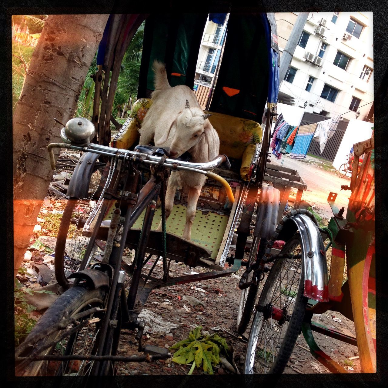 My new Driver , ready for the Rickshaw ride? This Goat is going to take me trough the Street of Dhaka, Bangladesh . I asked how much but I think he was too busy chewing the seat to answer! Animal Out Of Control Public Transportation IPhoneography Hipstamatic Travteller (vince Boisgard)