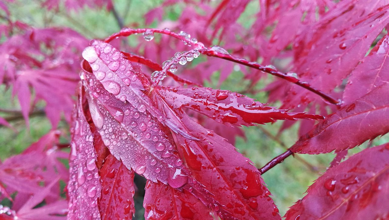 drop, nature, red, beauty in nature, day, weather, no people, outdoors, water, focus on foreground, close-up, wet, cold temperature, pink color, leaf, growth, fragility, frozen, raindrop, winter, freshness