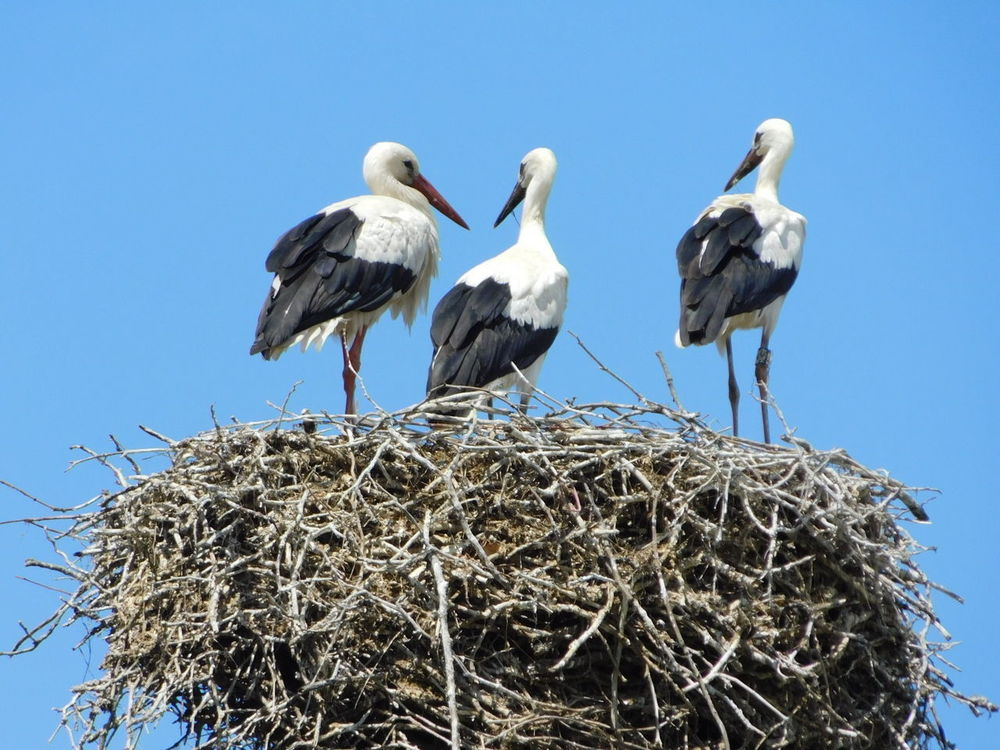Stork Bird Animal Nest White Stork Animals In The Wild Blue Animal Wildlife Beak Low Angle View Clear Sky Outdoors No People Nature Day Togetherness Animal Themes Perching Sky