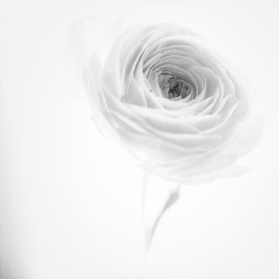 Flowers Blackandwhite White Album