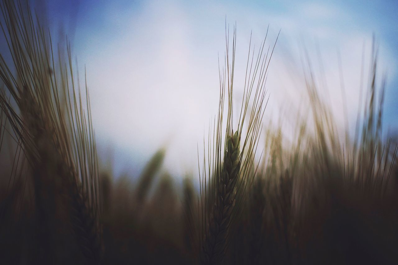 Growth Nature Plant Tranquil Scene Beauty In Nature Field Tranquility Ear Of Wheat Sky Wheat No People Scenics Outdoors Rural Scene Day Close-up Agriculture Cereal Plant Freshness EyeEm Nature Lover