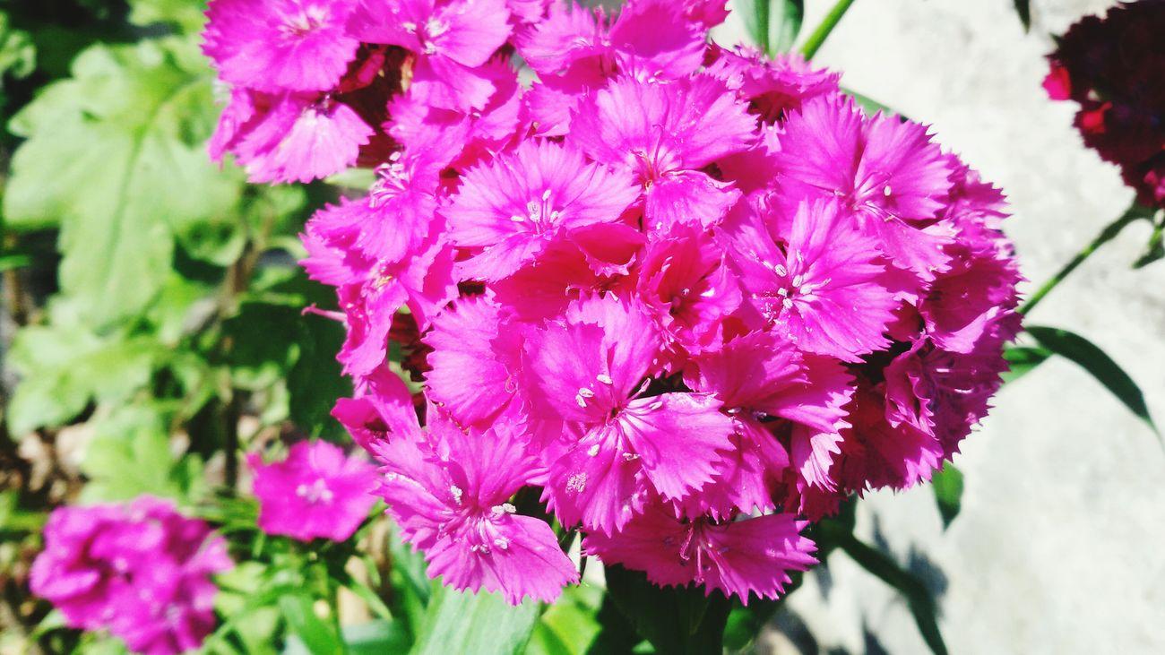 Flowers Pink Sun Lightsun Sunday Capture Lovephotography  Nature Beautiful Italy