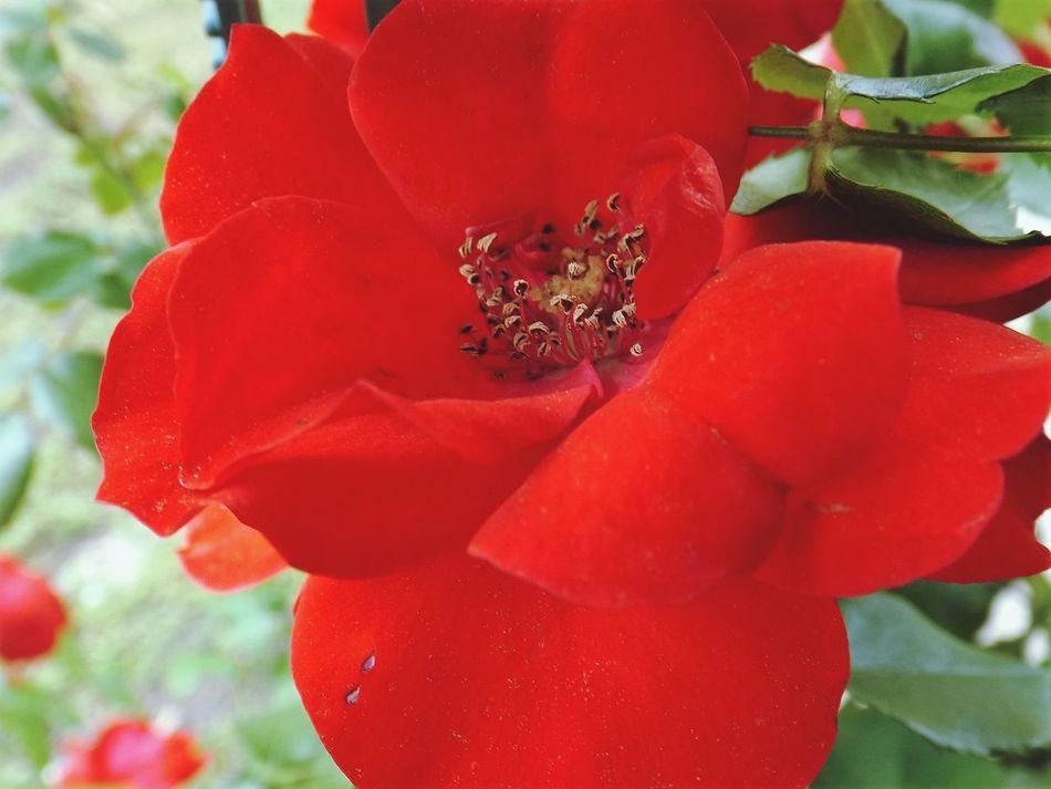 Red Flowers Red Flower Flower Stalker Flowerstalking