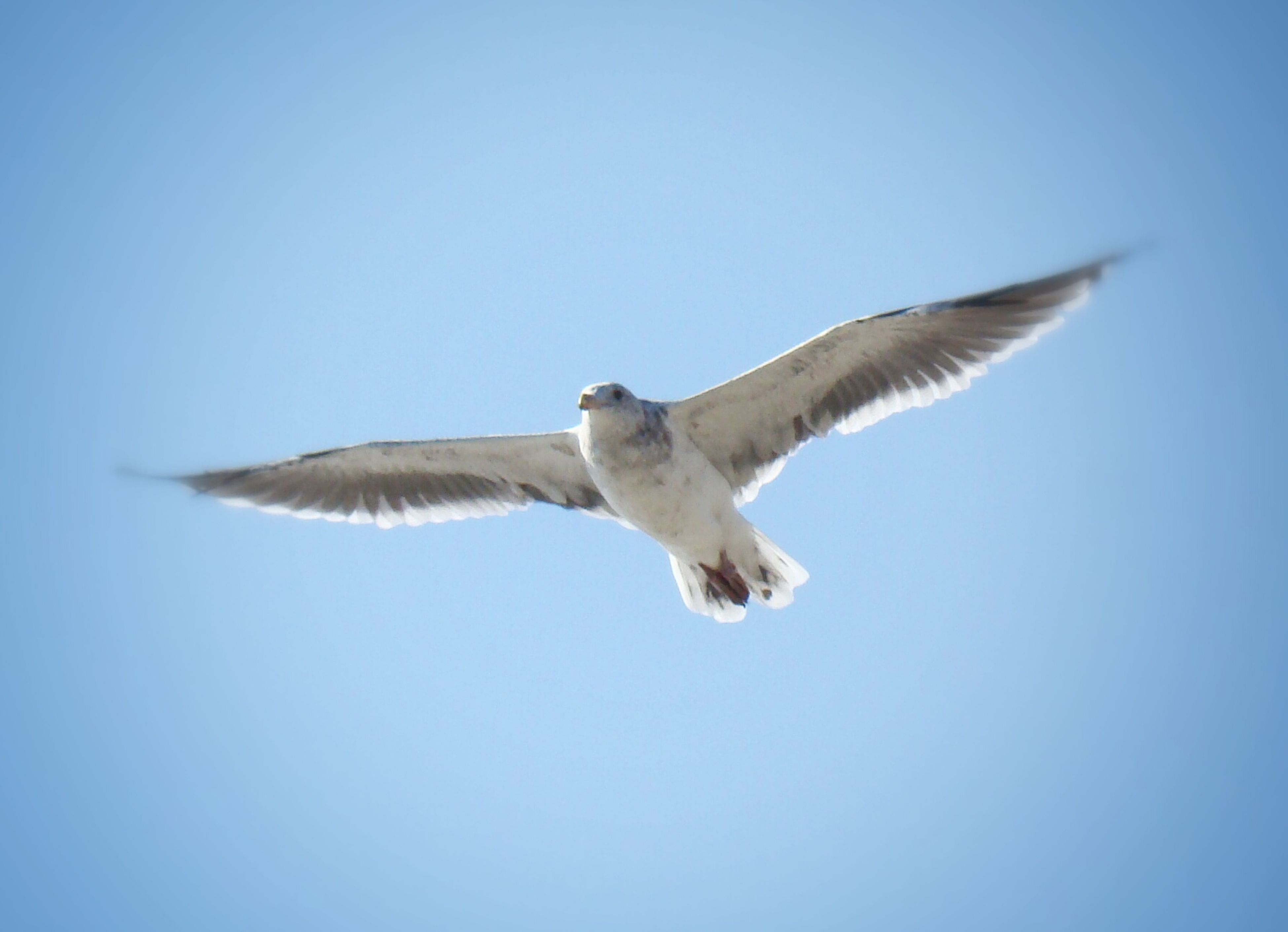 animal themes, animals in the wild, spread wings, bird, flying, wildlife, clear sky, one animal, seagull, blue, low angle view, copy space, mid-air, nature, full length, flight, zoology, vertebrate, animal wing, beauty in nature