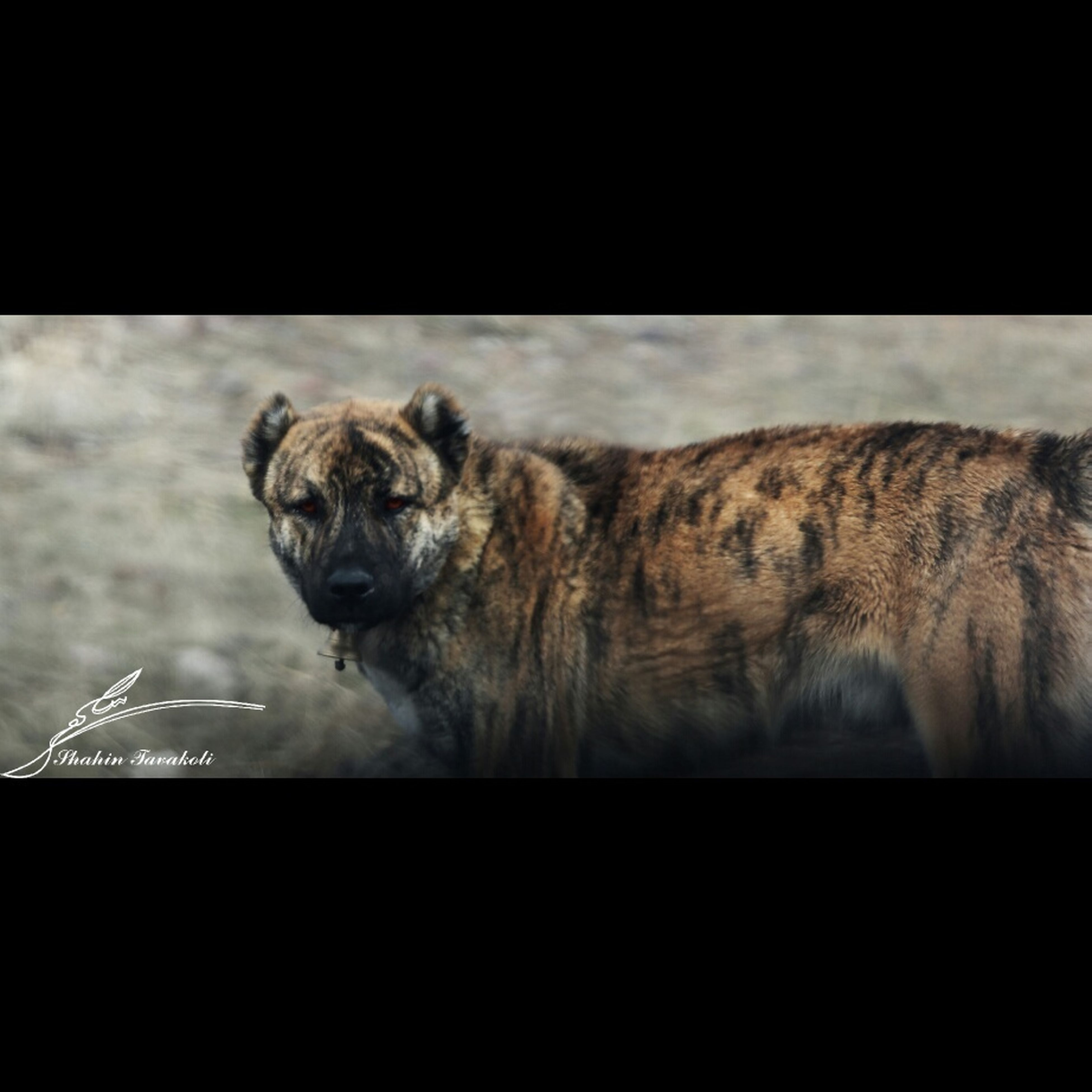 animal themes, one animal, mammal, domestic animals, transfer print, indoors, animals in the wild, wildlife, auto post production filter, pets, dog, zoology, animal head, no people, close-up, vertebrate, animal body part, two animals, side view, nature