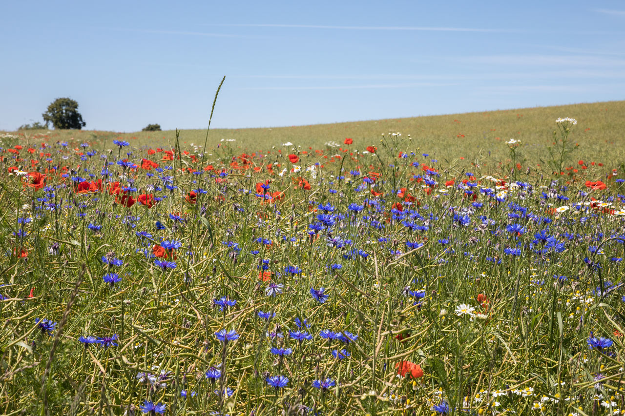 Field with wildflowers (blue cornflowers and poppies) Agriculture Beauty In Nature Blue Cornflower Field Flower Focus On Foreground Fragility Grass Growth In Bloom Landscape Meadow Nature Plant Poppy Red Rural Scene Sky Springtime Summer Tree Uncultivated Variation Wildflower