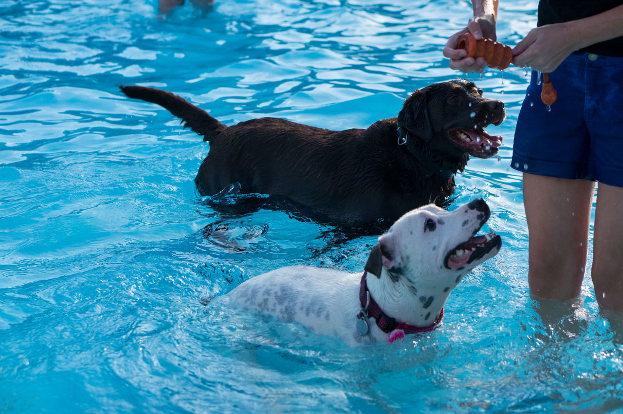 Beautiful stock photos of hunde, playing, swimming pool, water, togetherness