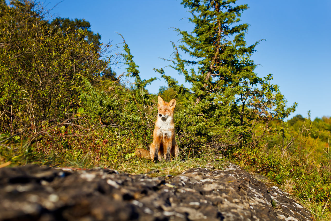 Animal Themes Autumn Autumn Colors Day Forest Forest Autumn Fall Colours Forest Photography Fox In Wild Mammal Nature No People One Animal Outdoors Wild Wild Animals Wild Animals Close Up Wild Fox Wildlife Wildlife & Nature Wildlife Photography Wildlifephotography Market Bestsellers 2016 Market Bestseller