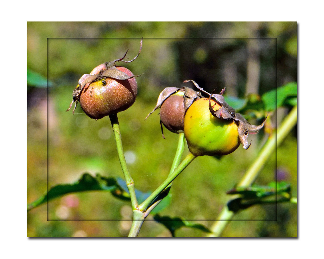 Rose Hips 1 Marcom Amphitheater Of Roses Oakland, CA Rose Haw Rose Hep Rose HipsNature Fruit Of Rose Plant Post Pollination Of Flowers Ripen Late Summer Through Autumn Botany Rich In Vitamin C Oils Are Used For Fragrances Carotenoids: Beta-carotene,lutein,zeazanthin,lycopene Itching Powder Made From Fine Hairs Inside Hips Used For Teas,jam,jelly,syrup,soup,wine,beverages Beauty In Nature Healthy Eating Fruit Food