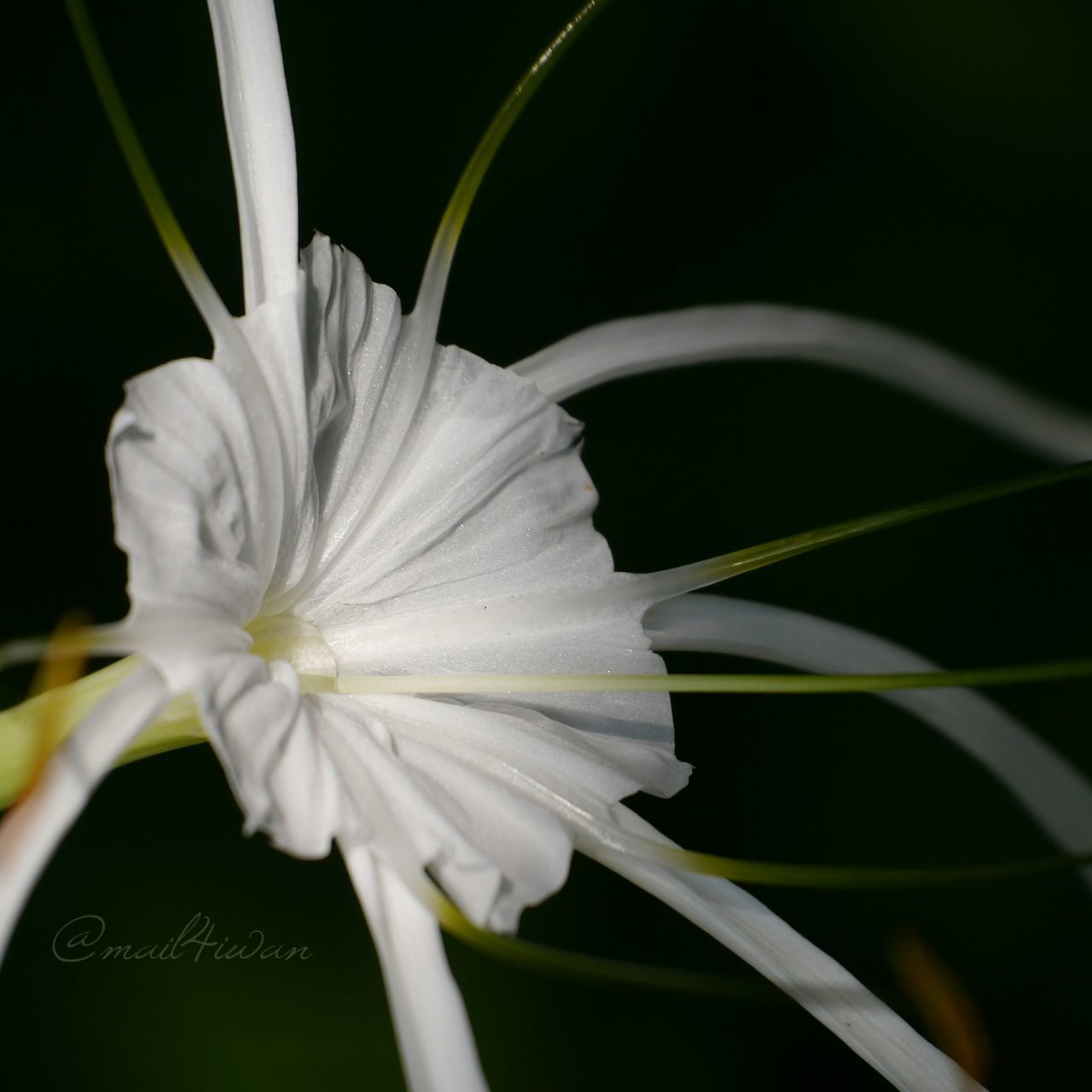Flower Petal Flower Head Close-up Fragility Plant Black Background No People Beauty In Nature Nature Outdoors Freshness Day Lumix Pure And Untouched (raw Image)