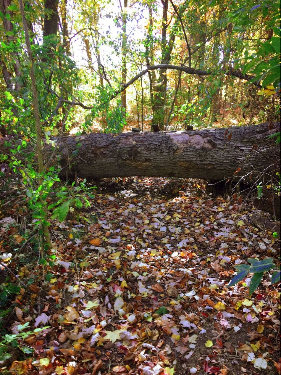 Fall Nature Treetrunk Tree Leaf Forest Autumn No People Growth Beauty In Nature Outdoors Fall Colors Fallfoliage Woods Relaxedand Happy Taking Pictures Iphonephotography