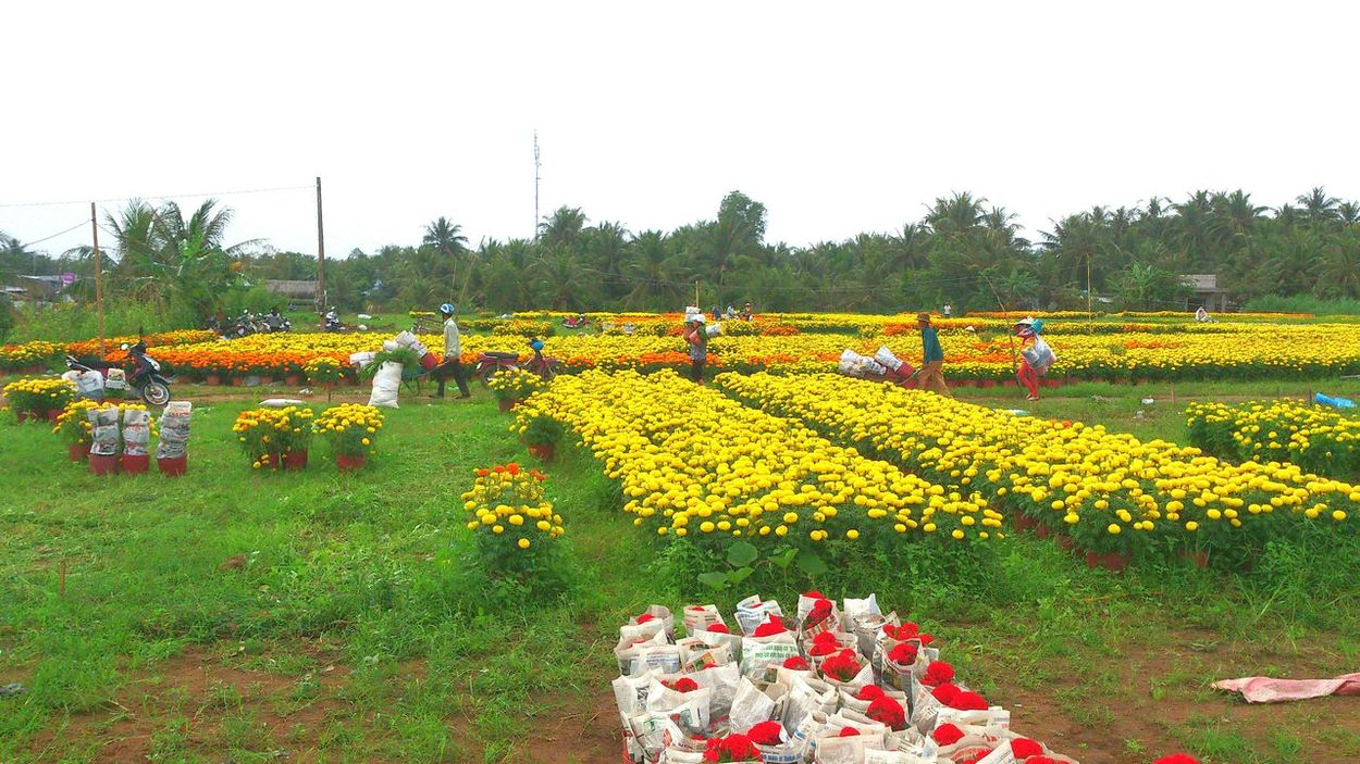Agriculture Rural Scene Growth Farm Sky Beauty In Nature Tree Nature Outdoors No People Day Tet Holiday Tết Plant Tetholiday Flower Vietnam Beauty In Nature