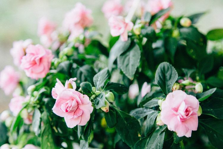 Momma's flowers. Flower Pink Color Petal Nature Plant Beauty In Nature Growth Flower Head No People Close-up Fragility Freshness Blooming Peony  Outdoors Day