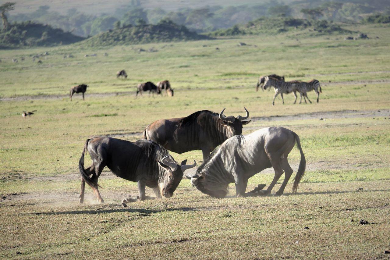 Serengeti Animal Themes Day Field Gnusika Grass Landscape Mammal Nature Ngorongoro Crater No People Outdoors Serengeti National Park Tanzania