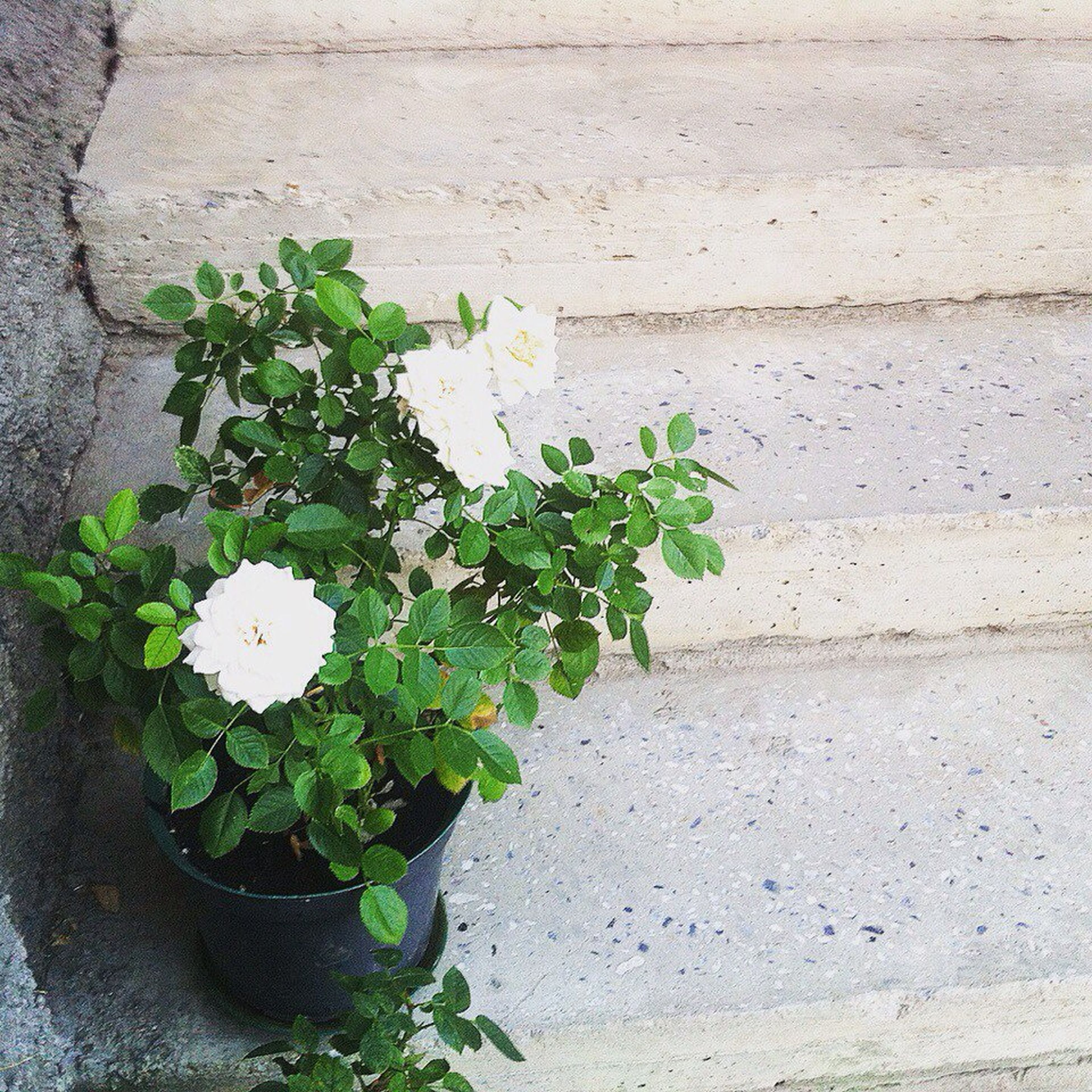 growth, flower, plant, leaf, freshness, fragility, nature, green color, white color, beauty in nature, petal, wall - building feature, growing, close-up, high angle view, flower head, blooming, in bloom, no people, potted plant