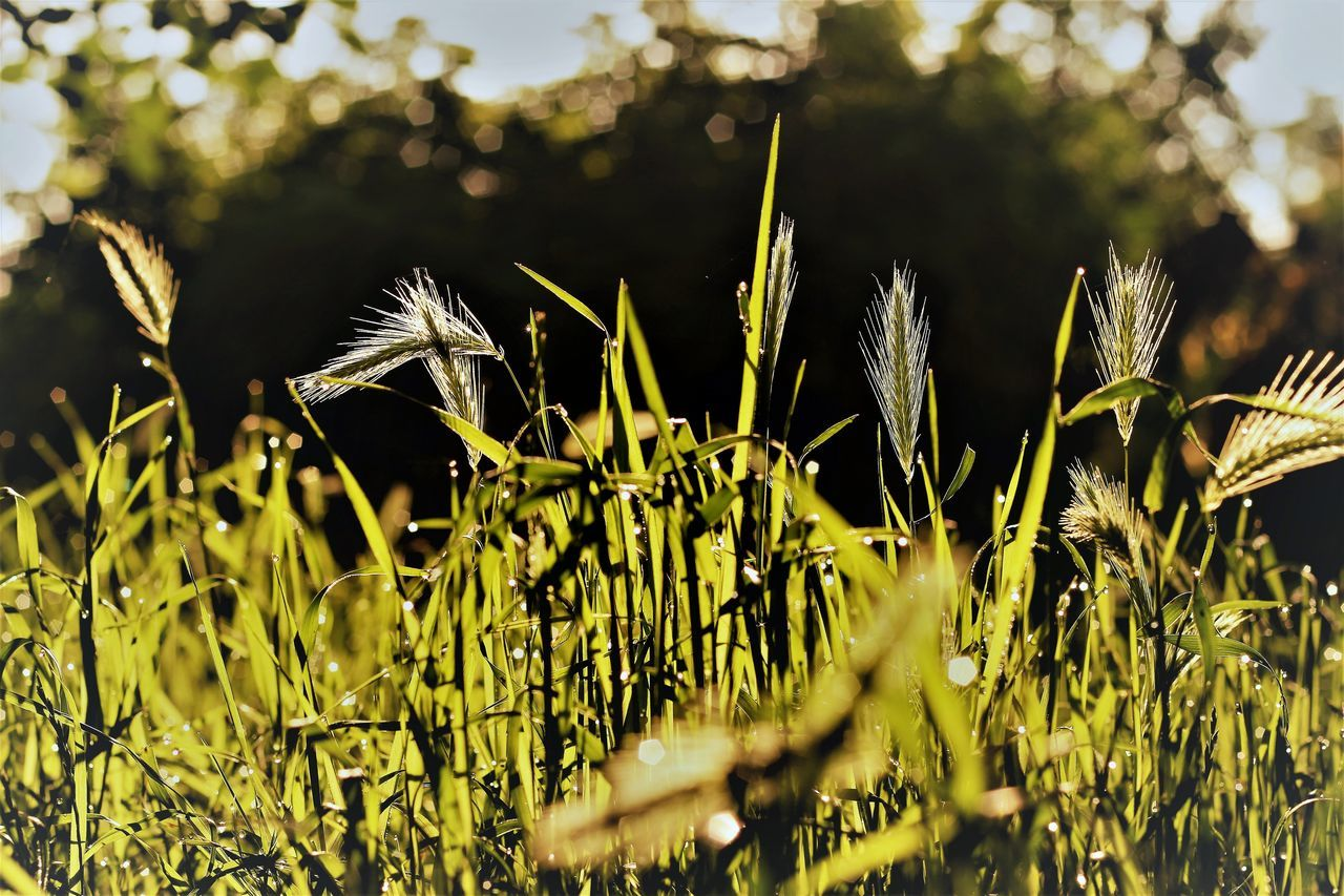 growth, plant, nature, field, no people, agriculture, outdoors, tranquility, beauty in nature, day, grass, close-up, freshness