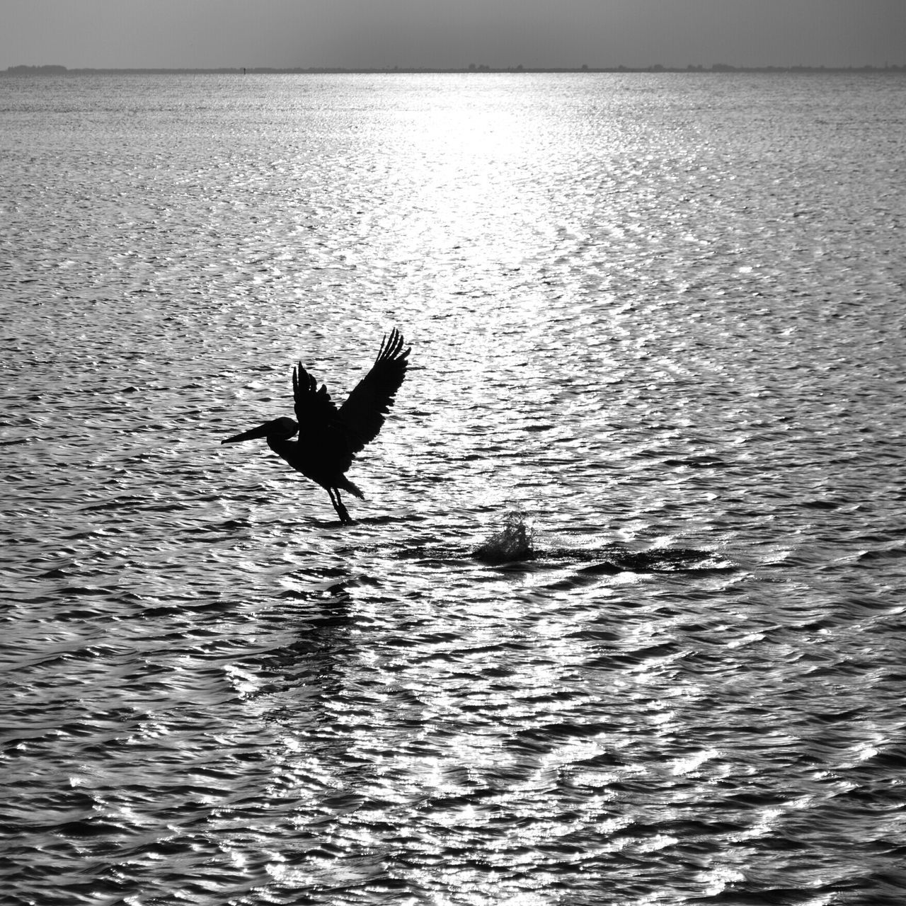 Water Reflections Silhouette Swfl United States Florida Wildlife & Nature Bird Photography Pelican Dance Black And White Bird In Flight One Animal Photography In Motion Nature No People Outdoors Water Black & White