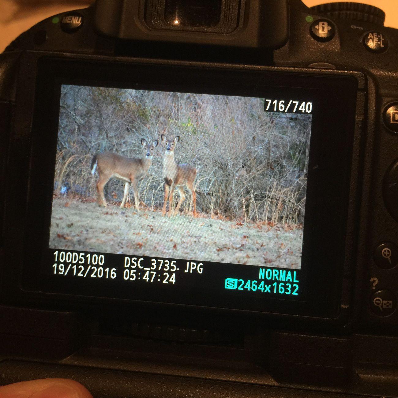 Backyard photos Deer Backyardphotography Animals In The Wild Deers Nature Beauty Peace Nikonphotography Nikon