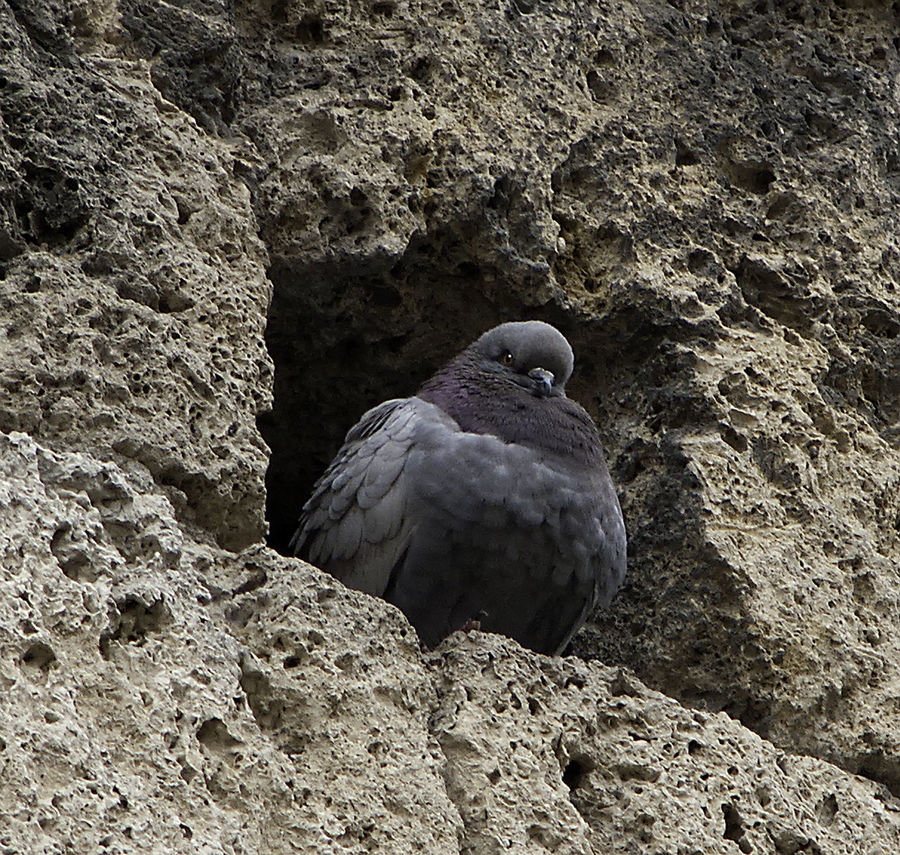 Animal Themes Animal Wildlife Animals In The Wild Beak Bird Bird Eye Close-up Day Nature No People One Pigeon Outdoors Perching Pigeon Rock - Object Rock Wall Texture