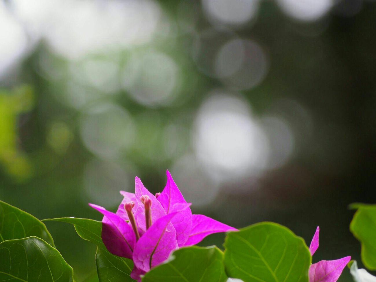 おはようございます😊…眠いです Flower ブーゲンビリア Eye Em Nature Lover EyeEm Best Shots Flower Collection 玉ボケ