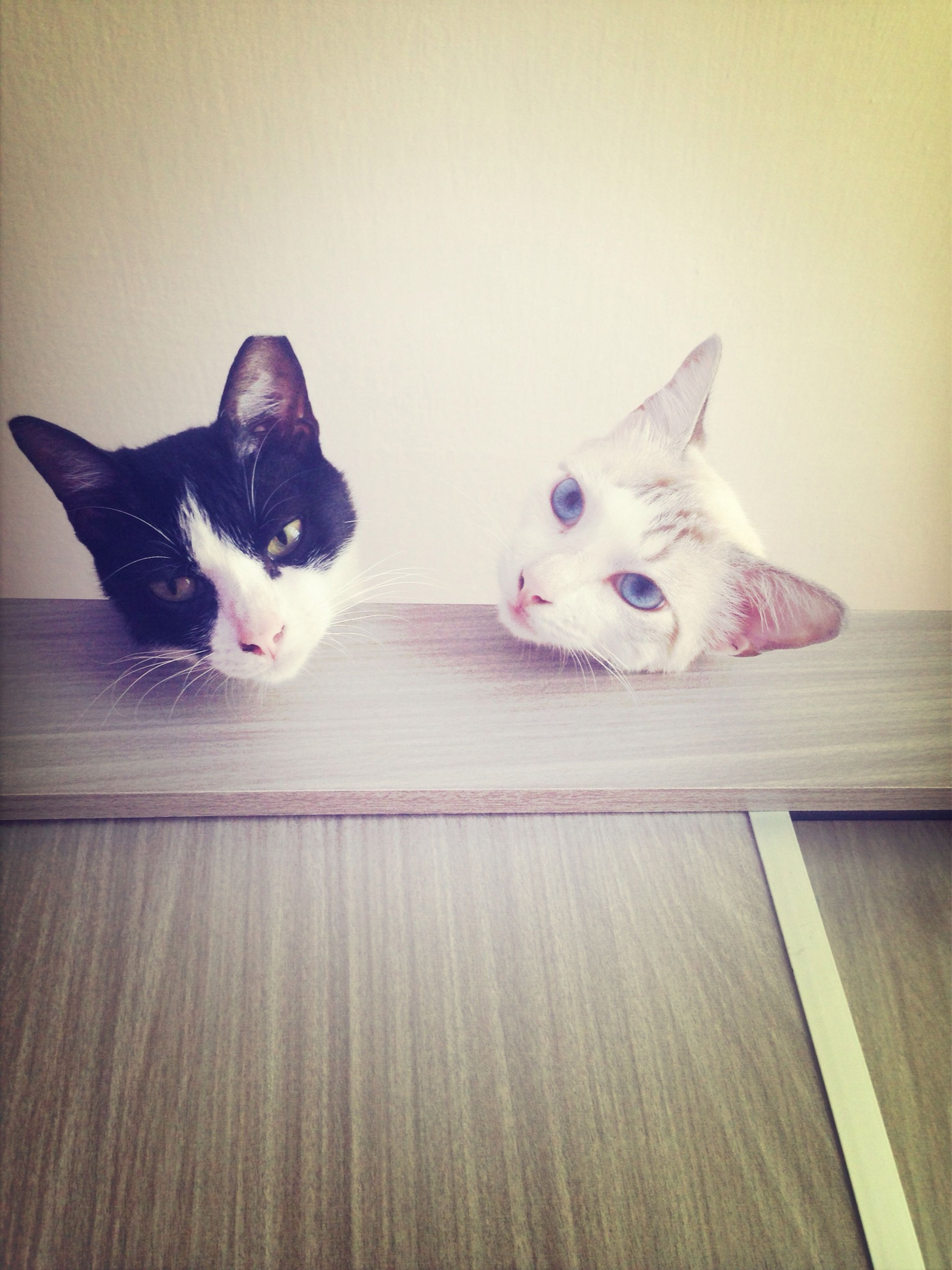 domestic animals, indoors, pets, animal themes, domestic cat, one animal, mammal, cat, feline, looking at camera, portrait, home interior, two animals, relaxation, flooring, table, white color, no people, floor, wall - building feature