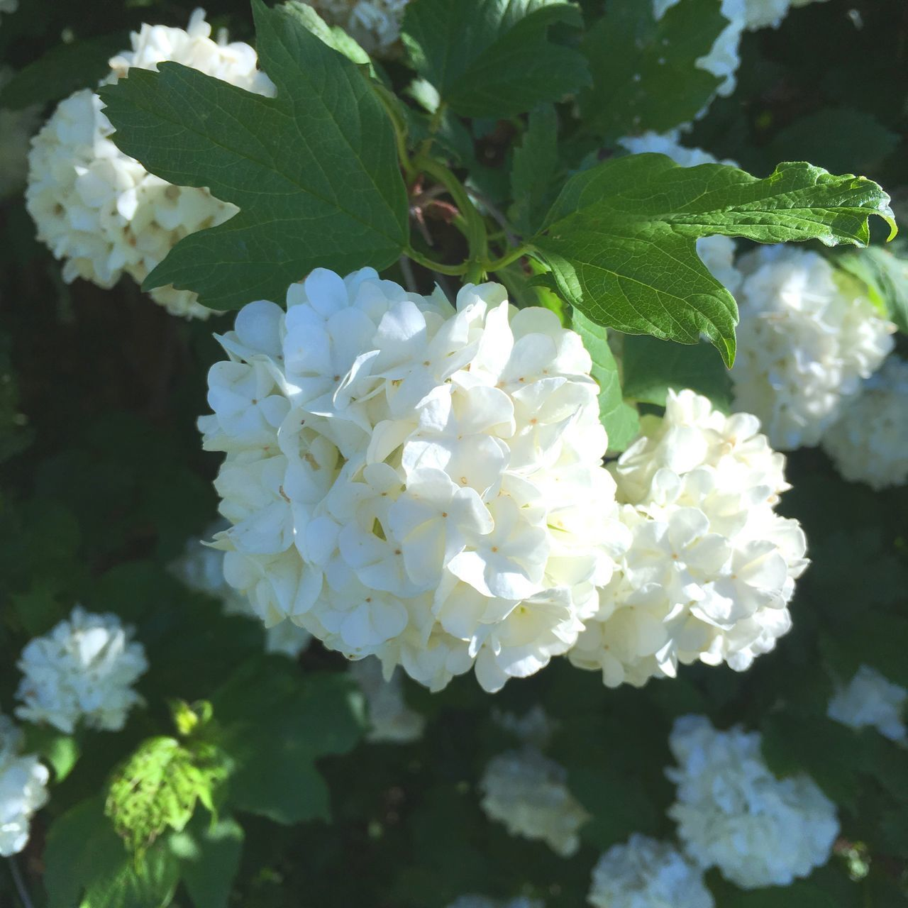 Flower White Color Beauty In Nature Nature Plant Growth Fragility Leaf Petal Freshness Day Blooming Outdoors No People Flower Head Hydrangea Close-up Tree